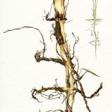 Colored pencil illustration of creeping wild rye and it's root system
