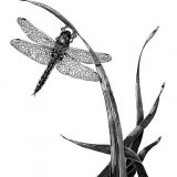 Ink on clayboard science illustration of Epitheca cynosaura, dragonfly on a marshy reed