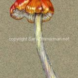 Science illustration of mushroom, Colored pencil on paper