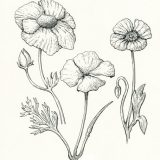 Pen and ink illustration of different poppy species found in California