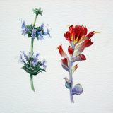 Watercolor illustration of coastal species, black sage and indian paintbrush.