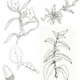 Sample line illustrations of California coastal plant species