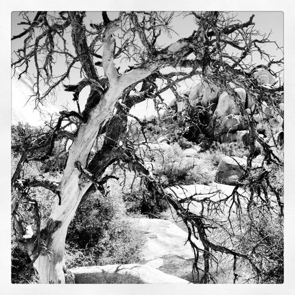 Pinyon Pine in Joshua Tree